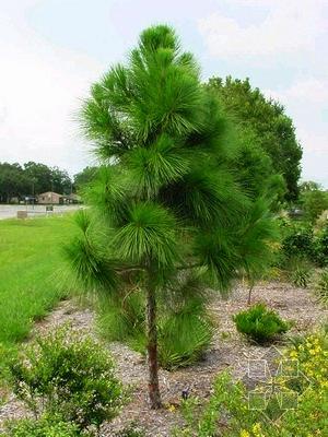 семена сосна массона china black pine seeds саженцы