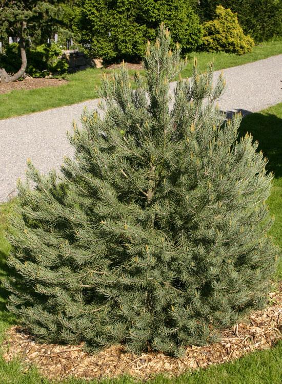 продам семена сосны однохвойной monophylla pine купить