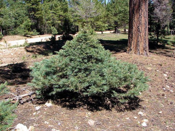 семена сосна однохвойная single leaf pinyon pine seedling саженцы