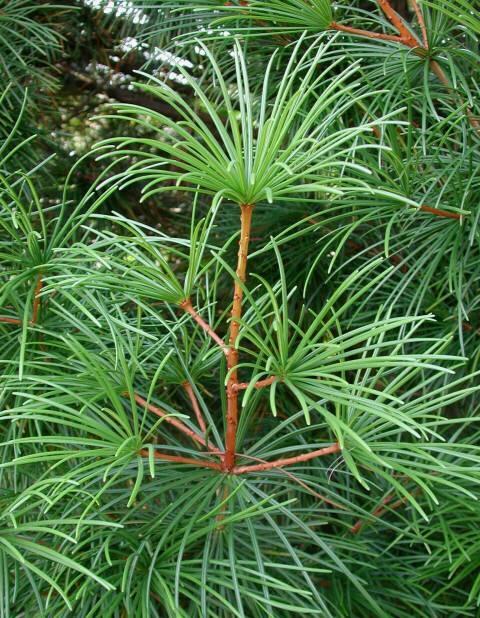 куплю umbrella pine семена и саженцы