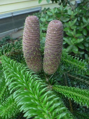 купить семена пихты криволистной эрнеста abies recurvata ernestii seeds