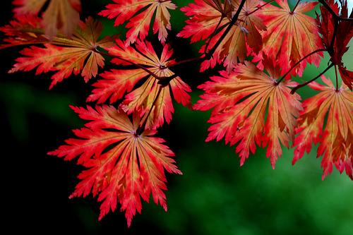 КЛЕН ЯПОНСКИЙ - Acer japonicum japonicum aconitifolium семена продам