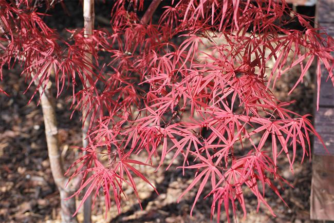 купить семена клена японского acer palmatum beni otake seeds саженцы из лучшего питомника москвы