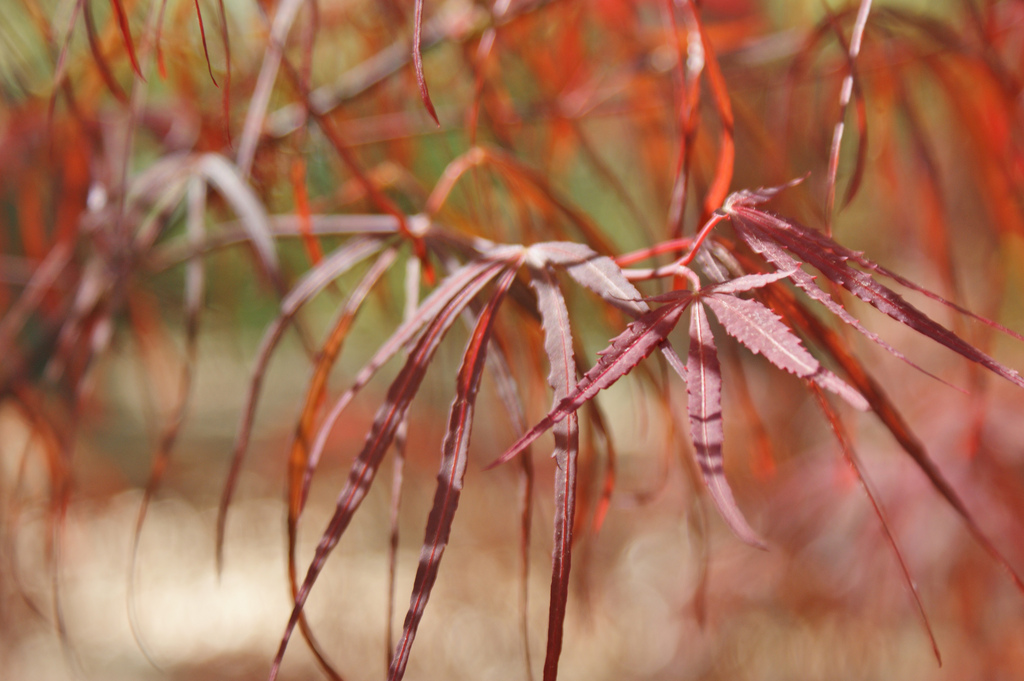 продажа семян клена пальмового Hubb's Red Willow