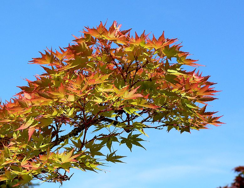 Acer palmatum Shigitatsu-sawa 3.jpg