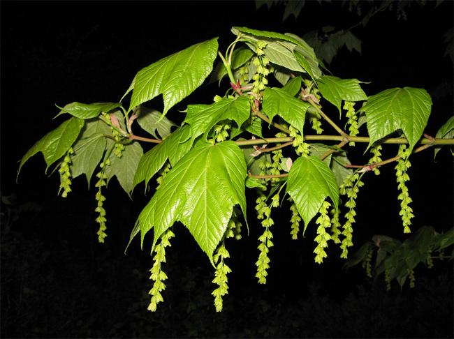 продажа семян клен пенсильванский acer pensylvanicum seeds саженцы огромный ассортимент
