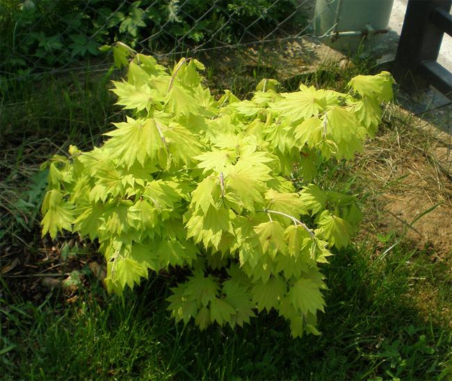 Acer shirasawanum aureum купить семена клена ширасаванум ширасавы