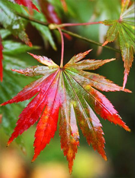 распродажа семян клена ширасаванум acer shirasawanum palmatifolium seeds купить саженцы клена японского в питомнике