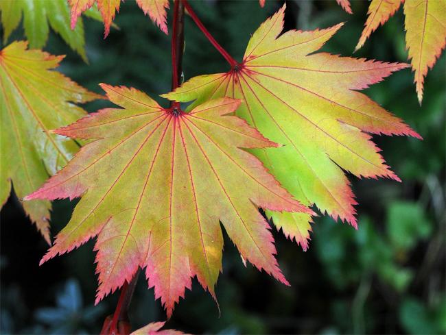 Acer shirasawanum продам семена клена