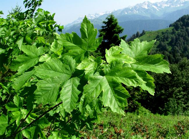 купить семена клен траутветтера гейдреха acer trautvetteri seedling купить в магазине семян растений