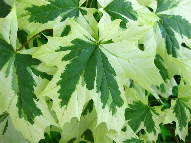 продам семена клена остролистного друмонда maple platanoides drummondii seeds в питомнике растений семена почтой