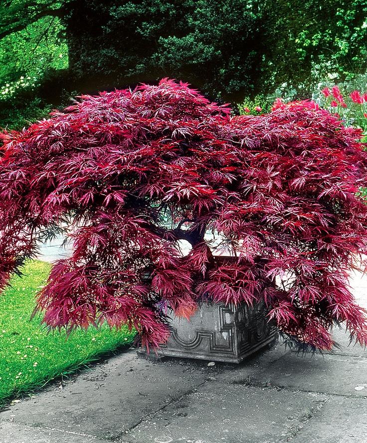 семена и саженцы клена bonsai