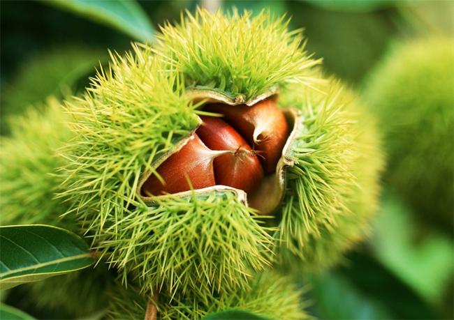продажа семян каштана американского castanea dentata seeds самый морозостойкий каштан