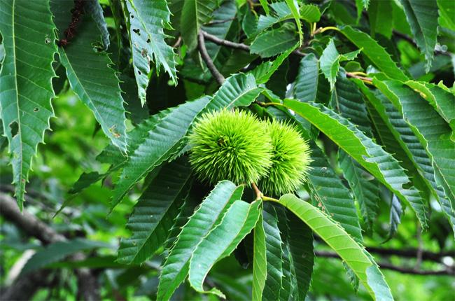 продам семена каштана мягчайшего mollissima chestnut самый вкусный и крупный каштан на свете