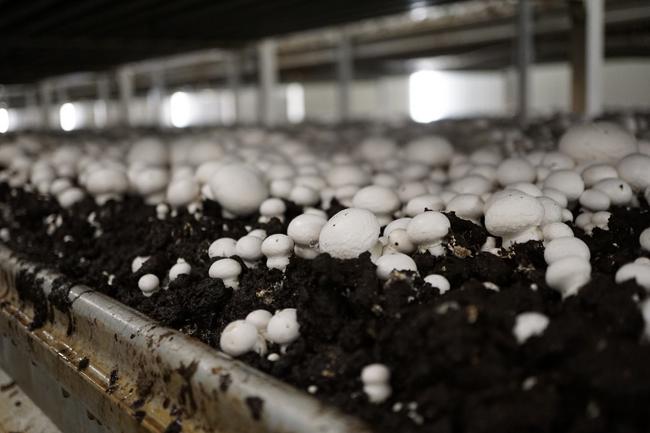 купить мицелий шампиньонов champignon Mycelium продажа мицелия в Москве лучшая цена на 4seed.jimdo.com