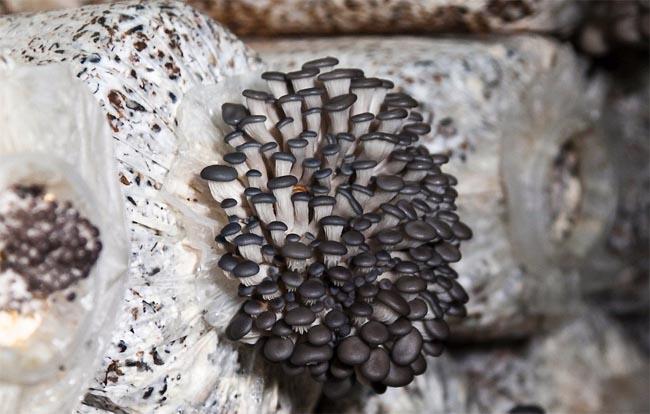 купить мицелий грибов вешенки agaricus mycelium ostreatus простая инструкция по выращиванию грибов пошаговая