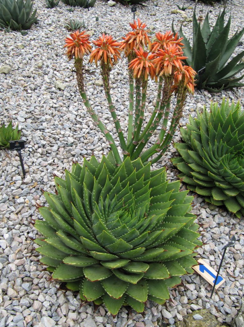 продам семена алое спиральное aloe polyphylla seedling cаженцы полифила