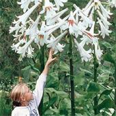 купить семена кардиокринум гигантский Cardiocrinum giganteum seeds гигантская лилия продажа семян