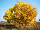 купить семена ясеня fraxinus seeds медонос и ценная древесина