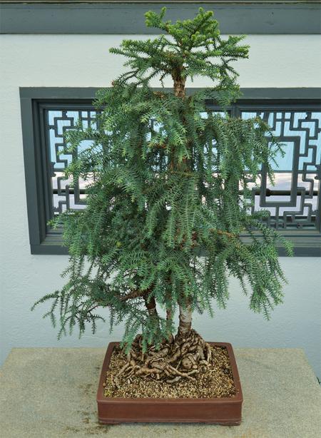 купить семена араукарии куннингема araucaria cunninghamii seedling bonsai бонсай