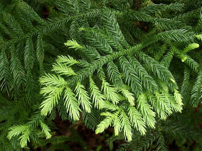 продажа семян араукарии каннингема araucaria cunninghamii seeds