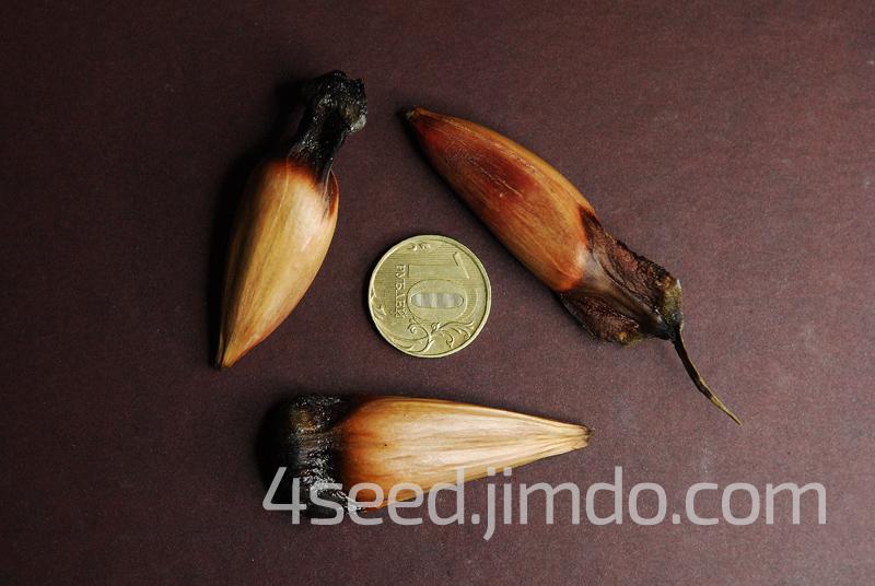 цена на крупные семена араукарии чилийской