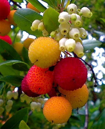 продам семена земляничное дерево крупноплодное arbutus unedo seeds продажа саженцев и семян декоративных садовых растений магазине москвы
