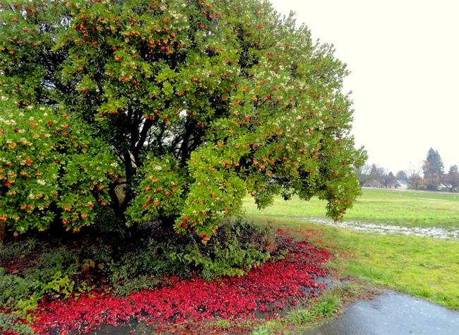 купить семена крупнопладного земляничного дерева arbutus unedo seeds земляничник крупноплодный совместная закупка