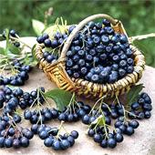 купить семена рябина черноплодная aronia melanocarpa seeds саженцы рябины в питомнике Сидландия