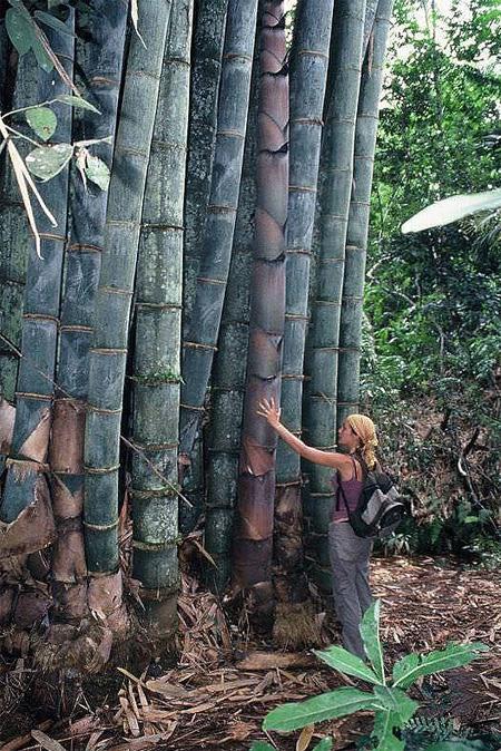 продам семена и саженцы бамбука дендрокаламус гигантский dendrocalamus giganteus seedling богатый ассортимент семян бамбука в россии