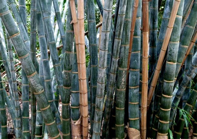 купить семена бамбука дендрокаламус гигантский dendrocalamus giganteus seeds коллекция семян бамбука всегда в наличии самовывоз и пересылка