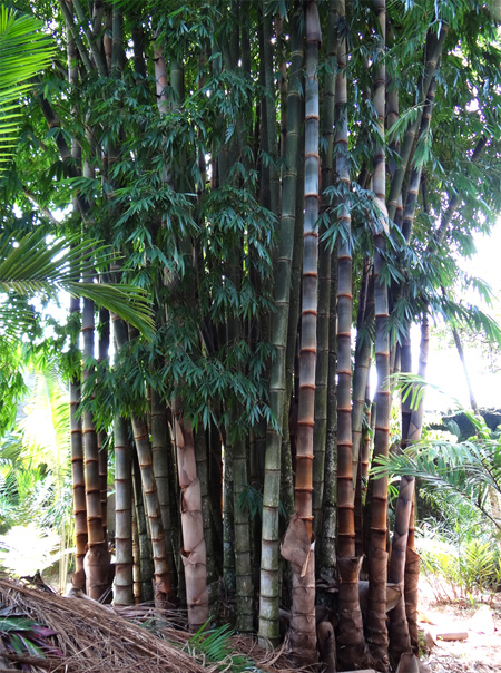 распродажа семян и сеянцев бамбука гигантского дендрокаламус Dendrocalamus giganteus seeds оптовые скидки на совместную закупку семян