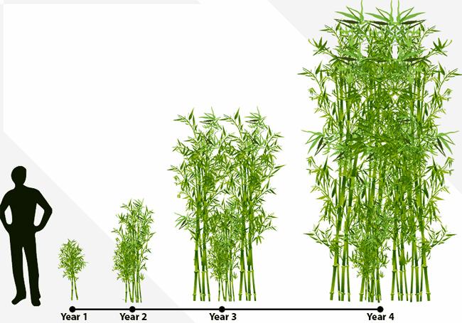 совместная закупка семян бамбука в Москве Phyllostachys pubescens heterocycla seeds продам саженцы бамбука