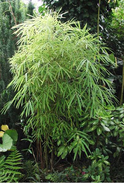 семена бамбука фаргезия фунгоса fargesia fungosa seeds купить семена в интернет магазине дешево