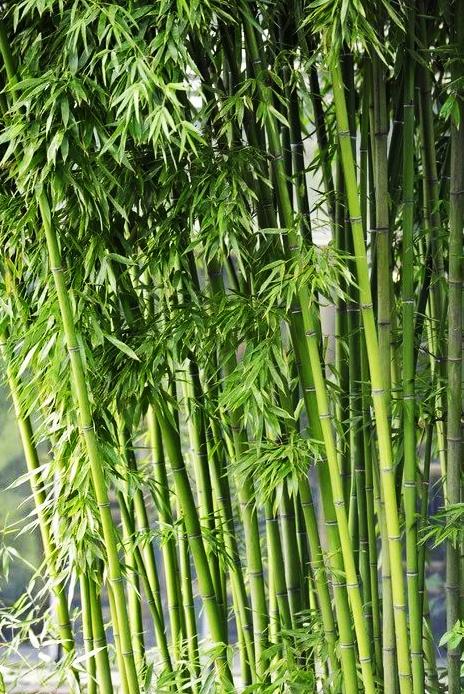 семена бамбука фаргезия юннаньская fargesia yunnanensis seeds продам саженцы бамбука на авито