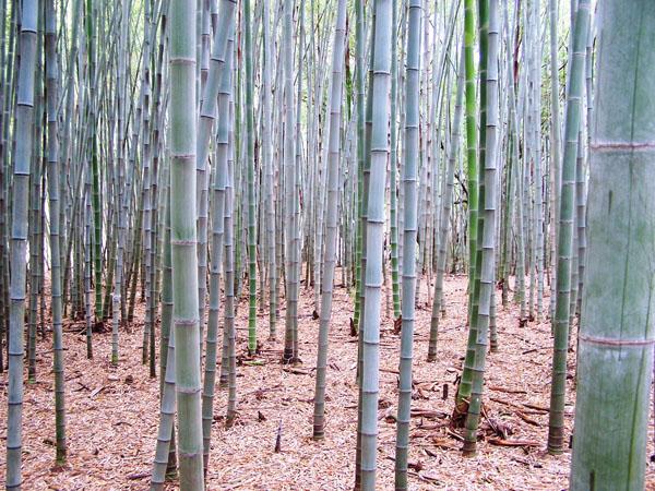семена бамбука листоколосник опушенный Phyllostachys pubescens seeds купить саженцы бамбука в магазине москвы