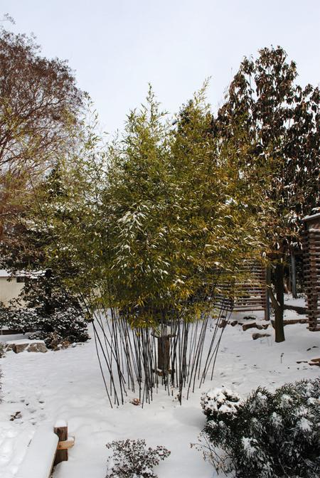 купить семена и сеянцы бамбука гигантского листоколосник moso Phyllostachys pubescens seeds пересылка заказов почтой
