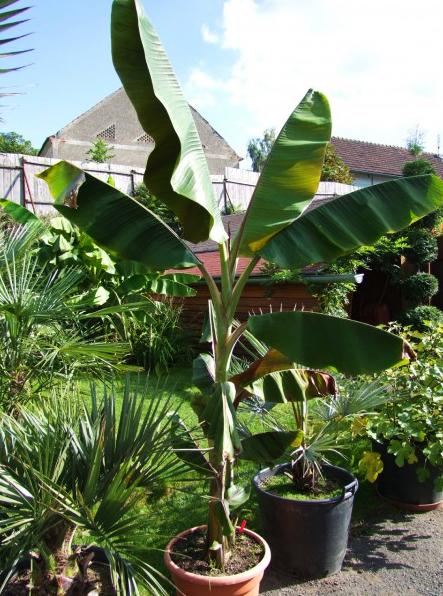 купить семена банана гибридного хеленс musa acuminata helens s seeds