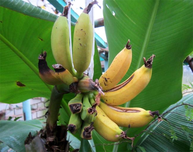 семена банана розового banana ornata seedling