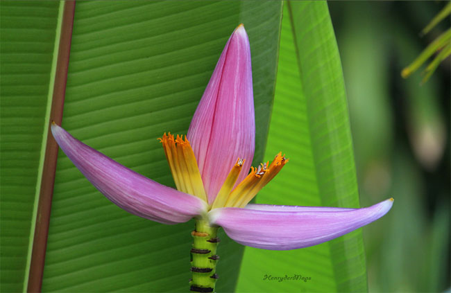 купить семена банана лавандового розового musa ornata pink seeds