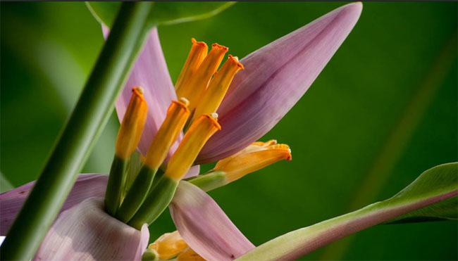 продам семена банана лавандового розового musa ornata pink seeds