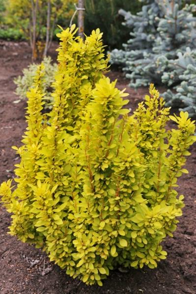 семена барбариса голден рокет berberis thunbergii golden rocket seeds совместная закупка семян оптом и в розницу
