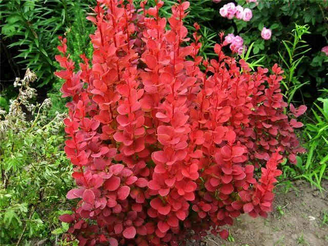 продажа семян барбариса оранж рокет berberis thunbergii orange rocket seeds купить семена кустарников декоративных
