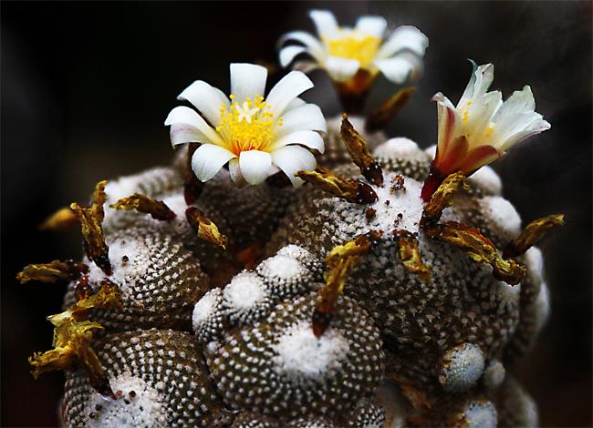 хотите купить семена блоссфельдия крошечная Blossfeldia liliputana seeds сезонная распродажа семян в магазине Сидландия - семена для всех