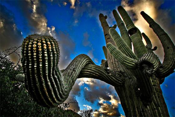 купить семена и саженцы кактуса сагуаро гигантского carnegiea gigantea seeds в магазине номер 1 Сидландия