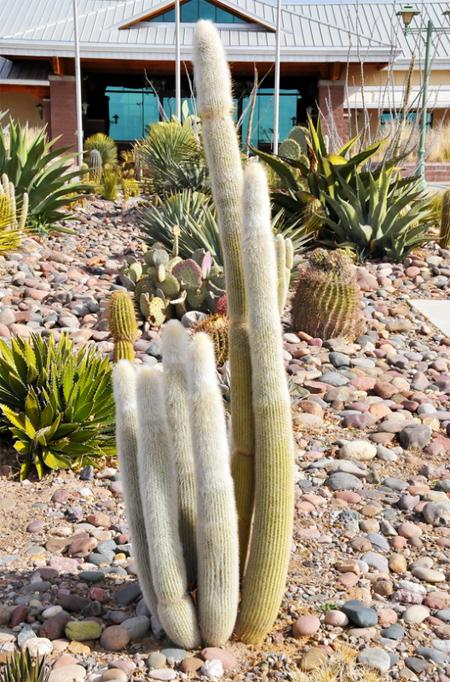 продажа семян клейстокактуса штрауса Cleistocactus strausii seeds совместная закупка семян в интернет магазине Сидландия