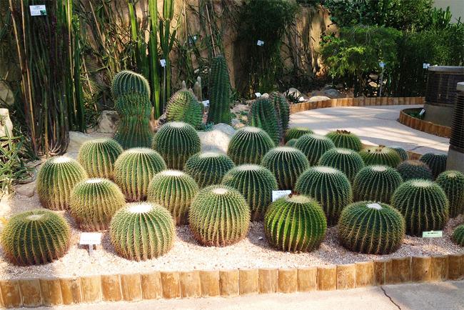 продам семена эхинокактуса грузони Echinocactus grusonii seeds саженцы кактусов в магазине самовывоз и почта