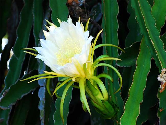 купить семена кактуса питайя Hylocereus undatus seeds распродажа семян в Сидландии