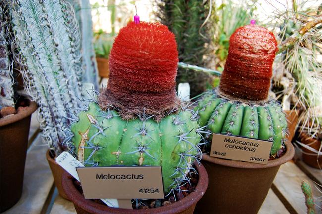 продажа семян в магазине кактусов мелокактусы коноидеусы melocactus conoideus seedling распродажа кактусов пересылка почтой поставка на заказ