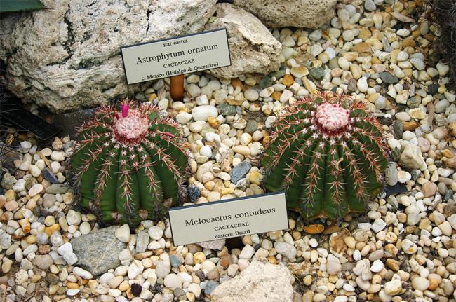 купить семена и саженцы кактуса мелокактус коноидеус мелокактус melocactus conoideus seeds широкий ассортимент кактусов в Сидландии